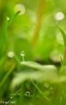 Ogräset