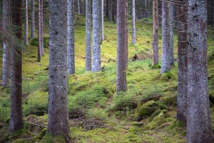 Skogen före